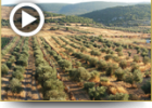 """מעשה בבעש""""ט ופירות ארץ ישראל"""