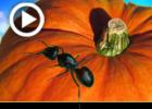 משל הדלעת התולעת והנמלה